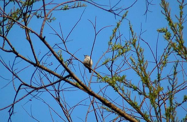 5月7日小鳥とスミレ (10)