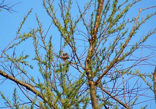 5月7日小鳥とスミレ (8)