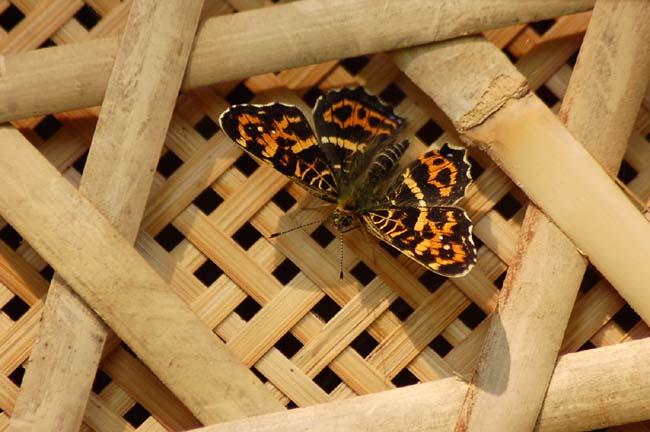 サカハチチョウ (1)