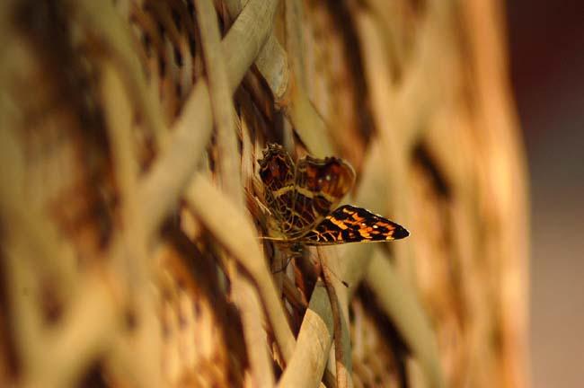 サカハチチョウ (3)