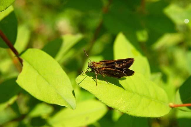 オオチャバネセセリ (2)