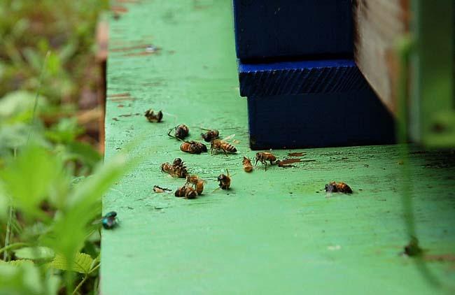 死骸を運ぶミツバチ (1)