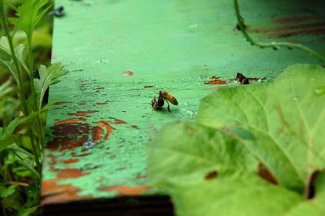 死骸を運ぶミツバチ (3)