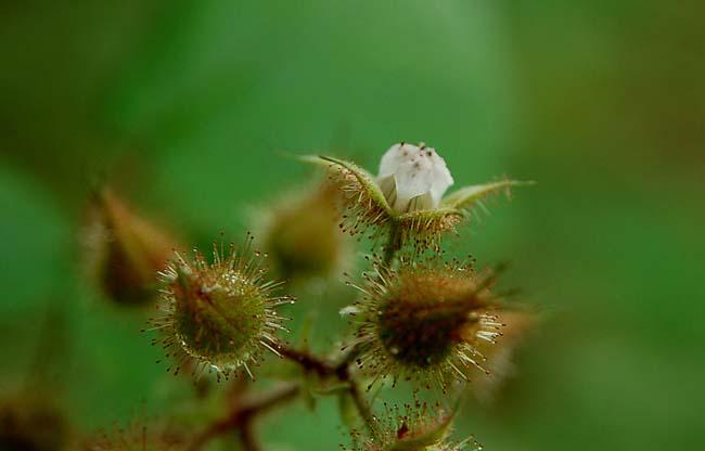 エビガライチゴ (1)