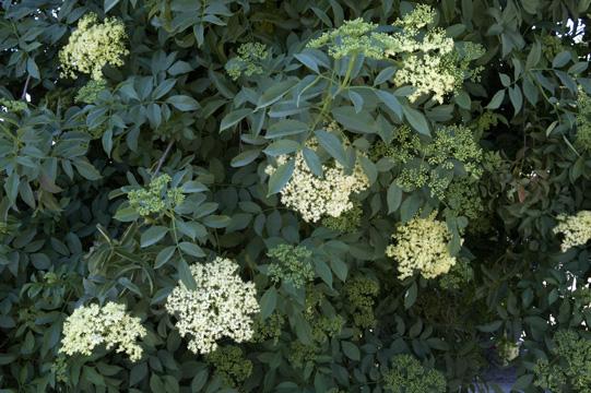 ミッションの庭に咲くニワトコ/エルダーベリー