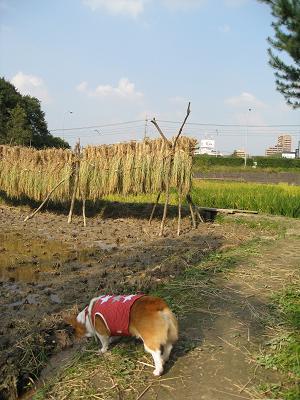 田んぼをクンクン10.25