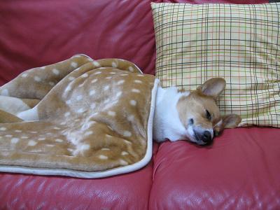毛布かぶった寝姿