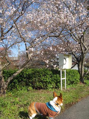桜が咲いてる11.14