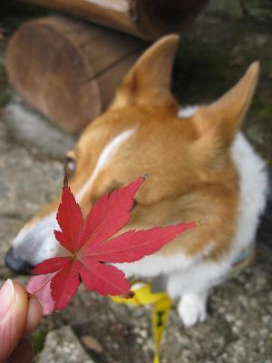 赤い葉11.18