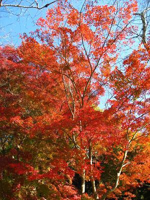 森林公園の紅葉11.26