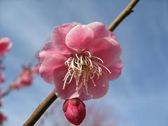 ピンクの梅2.19