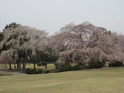 しだれ桜は満開3.31
