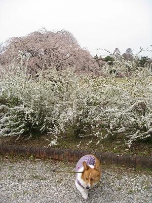 桜と雪柳3.31