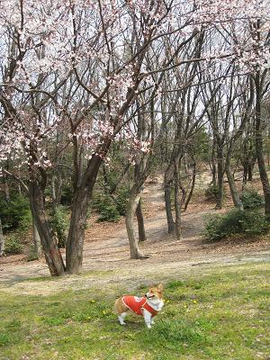 桜少し咲く4.1