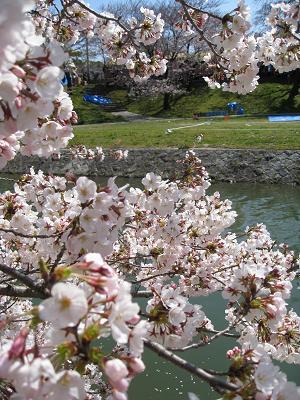 伊賀川沿いの桜4.2