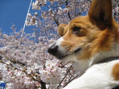 桜とプー4.2