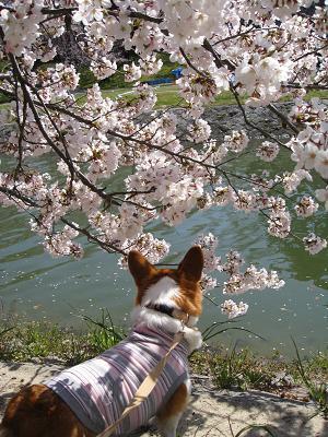 桜と川とプー4.2