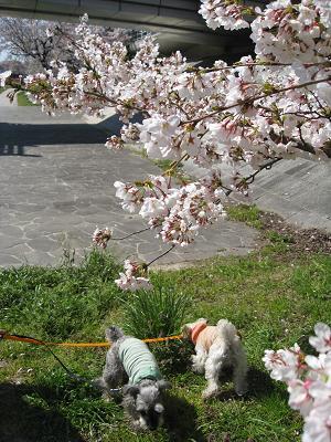 桜よりクンクン4.2