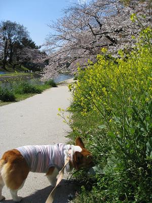 桜よりクンクンのプー4.2