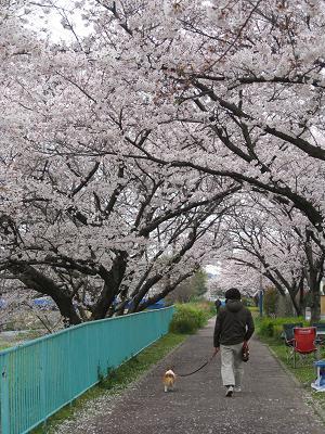 川沿いの桜4.5
