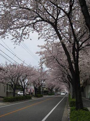 通り沿いの桜4.5