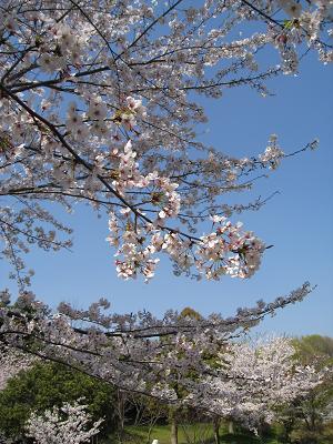 桜と空4.7