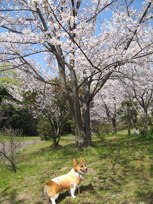 桜とプー4.7