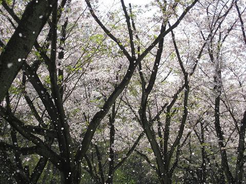 花吹雪②4.9