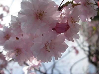 枝垂桜4.18