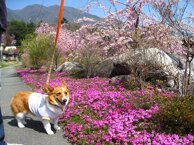 芝桜4.18