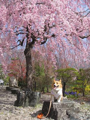 庭園の枝垂桜4.18
