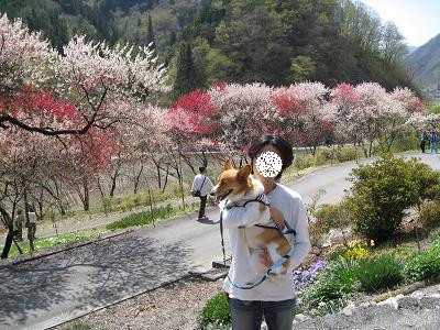 満開の花桃4.19