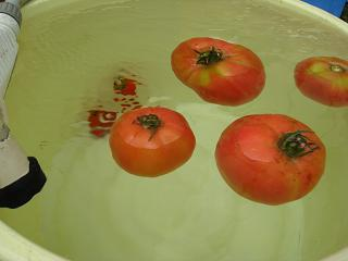 井戸水で冷やすトマト8.2