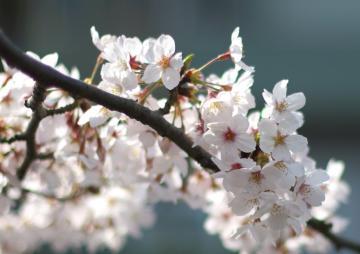 50mm開放 桜