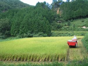 稲刈りです。