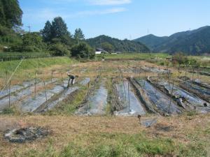きゅうりの畑かたづけ