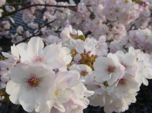 ウチの八重桜 満開!
