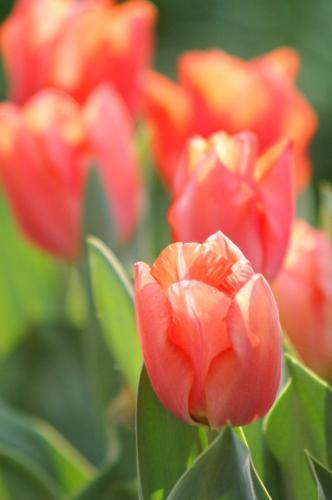 070426_tulips