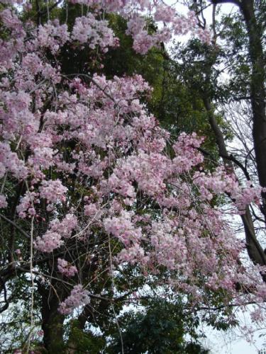 080404桜.JPG